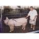 AI Boar Harness - In Use