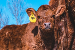 The Form and Function of Livestock Ear Tags