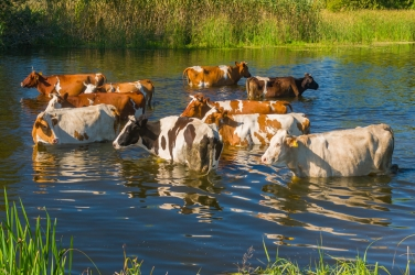 Tips for Dealing with Livestock Heat Stress