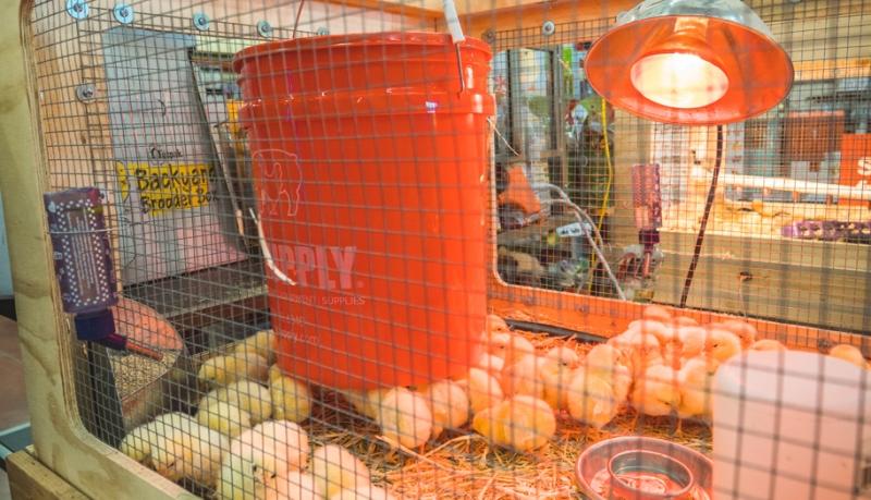 Rethinking Chick Watering