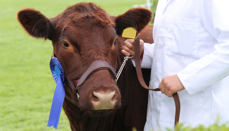 A Beginner's Guide for Showing Cattle