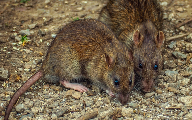 Controlling a Rodent Infestation with Neogen®