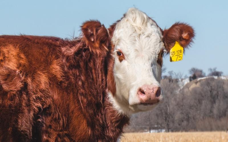 Methods for Marking Livestock